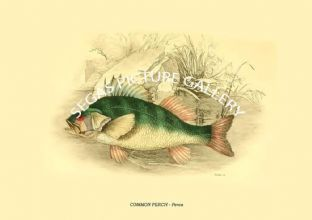 COMMON PERCH - Perca